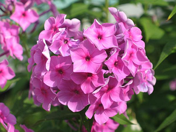 Садовая классификация 4 2 сорта