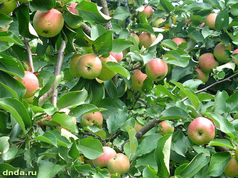 Красные наливные яблочки на ветках