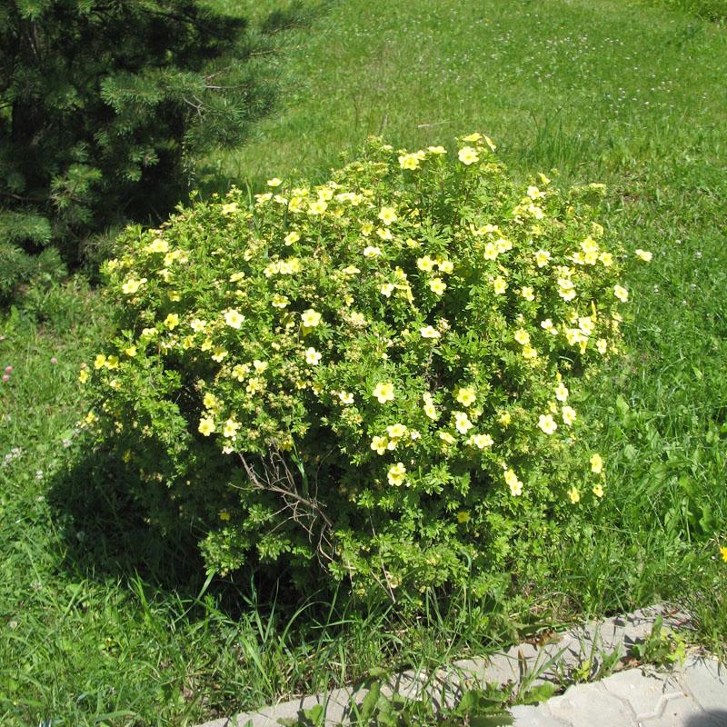 Лапчатка кустарниковая уход и выращивание фото 62