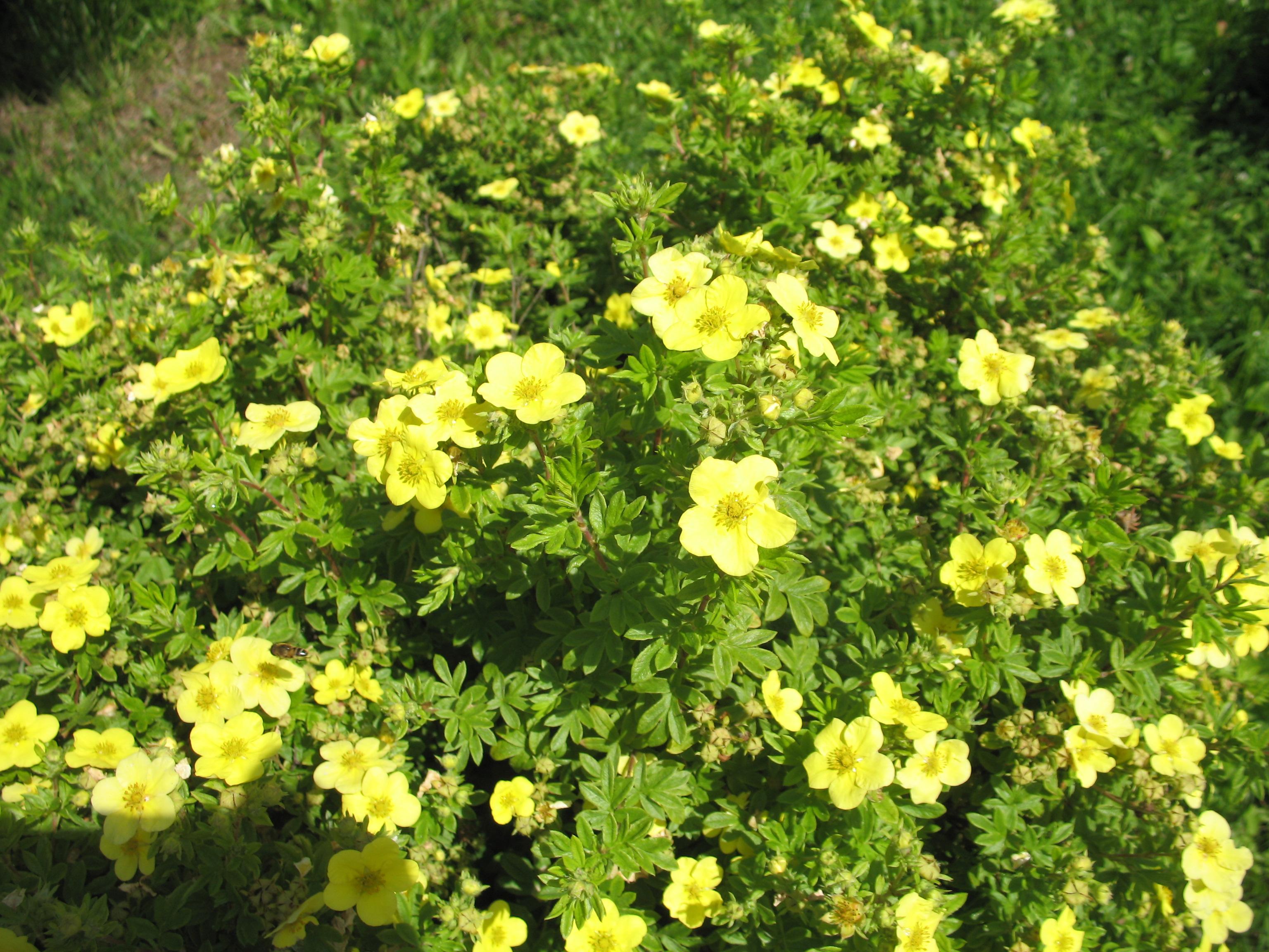 Лапчатка или курильский чай : посадка, выращивание и уход 5
