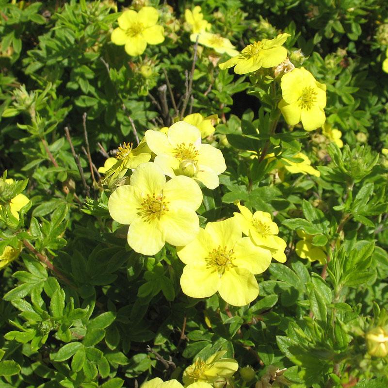 Лапчатка кустарниковая уход и выращивание полезные свойства 31