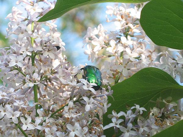 Июньский жук на сирени - Дневник дачника