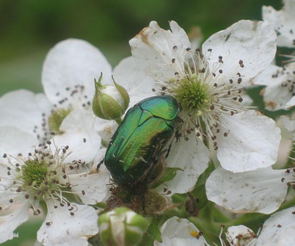 Июньский жук на ежевике - Дневник дачника